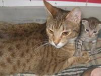 Flower is a chocolate spotted ocicat who is spayed and