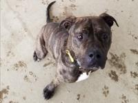 Hello, my name is Odin I am a 2 year old Mastiff Mix. I