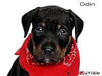 Odin's story Meet Londons seven puppies AJ, Ares, Mia,