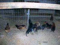 $5 each. 11 roosters and 2 hens. 4-8 months old. buy