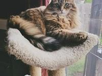 Offered by Owner - CONEY Senior Maine Coon's story How