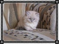 OH SO ADORABLE FEMALE HIMALAYAN MUNCHKIN (NAPOLEON)