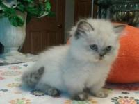 PRECIOUS PRECIOUS FEMALE SEAL/TORTIE POINT HIMALAYAN