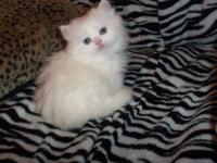 PRECIOUS PRECIOUS SOLID WHITE FEMALE PERSIAN /