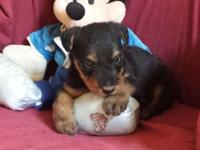 DIESEL: $895, Male, Giant Airedale Terrier, born