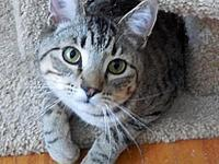 Okie's story Okie is a young brown tabby male with an