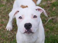 Olaf is a 5 month old, male Pit Bull Terrier looking