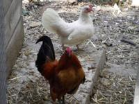 I have an absolutely gorgeous Ginger OE Bantam for