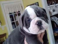 We have 4 beautiful Old english bull dog puppies for