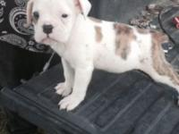 Old English bulldog puppies for sale 2 males 2 females
