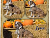 Jynx is a 7 month old blue brindle OEB. He is a spunky