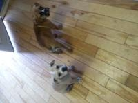 I have 2 pure bred old english bulldog female puppies.