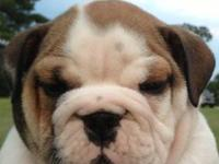 Registered Old English Bulldog Puppies. Pups have been