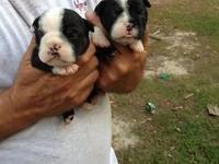 Now taking deposits. I have Old English Bulldog puppies