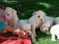 Old English Bulldog young puppies Registered with the