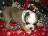 Old English Bulldog Puppies Registered home raised