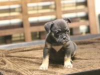 She is a Black Tri Old English Bulldog 10 weeks old 2