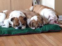 Old English Bulldog Pups, pups come with Purebred