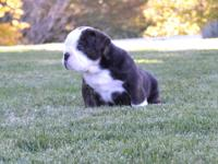 Quality healthy Old English Bulldog Pups! Just look at