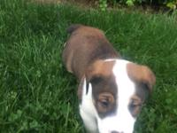 2 Old English Bulldog/Sheltie mix. Male 7 weeks.