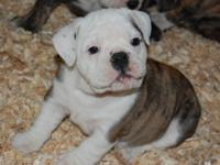 old English/English Bulldog puppies for sale. 6 weeks