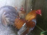 I have several colors of old English bantams for sale.