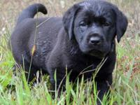 Labrador Retriever the # 1 Canine Species for the