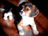 Adorable Old English Pocket Beagles, Registered with