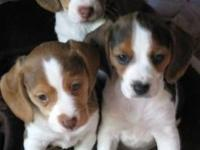 Adorable Old English Pocket Beagle Puppies next litters