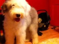 Guinevere is a 7m old purebred Old English Sheepdog.