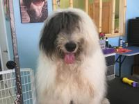 4 year old ols male old English Sheepdog.
