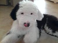 Beautiful old english sheepdog male. He is 10 weeks