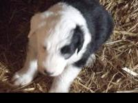 I have a litter of Old English Sheepdog puppies, they