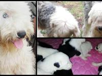 We have old English sheepdog puppies for sale. They