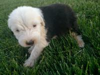 Old English sheepdog puppies for Sale in Bartlettsville, Indiana