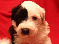 Adorable Old English Sheepdog Puppies Nice litter of 3