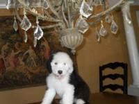 ONLY ONE PUP AVAILABLE!!!!AKC reg. old english sheepdog
