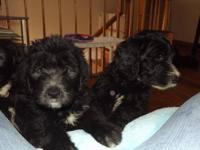 Sheepadoodle puppies born 9/12/12 . Puppies are ready