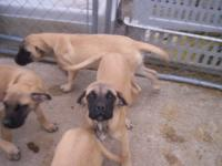 I have male and female old englist mastiff Fawn with