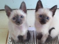 Old Fashion Siamese kittens for sale. Pet quality. Over
