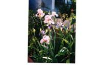 These beautiful Irises can't be found in stores. Some