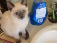 Breeding old fashion Applehead siamese kittens for over
