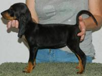 We have a litter of AKC/UKC registered Old Fashioned