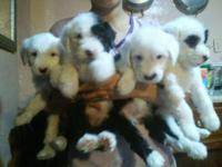 SHEEP DOG PUPPIES! 8 weeks old. Lovely fluffy black and