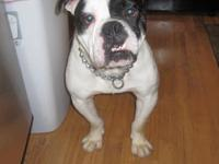 Description 1.5 year old, male Olde bulldog,
