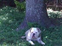 4 years of age male, olde English bulldog. He is the