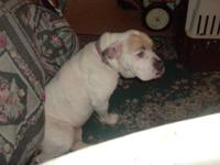 I have a female Olde English Bulldog three years old.