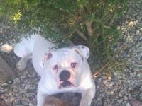 Sweet, charming one years of age Olde English Bulldog