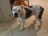 3 yr old female olde english bulldog. Shes great with