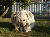 2 year old Olde English Bulldog about 90lbs. needs a
